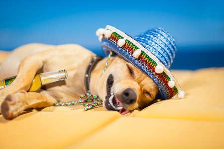 クレイジーと面白い愚かな顔でシエスタを持っている酔ってチワワ犬 写真素材
