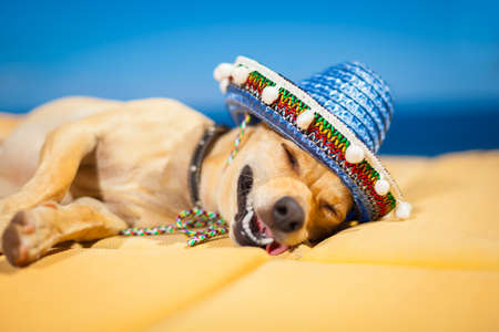 drunk chihuahua dog having a siesta with crazy and funny silly face photo