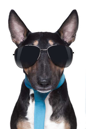 bull Terrier dog with sunglasses and blue tie photo