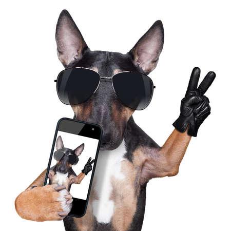 retratos: Bull Terrier que toma una selfie con la victoria o dedos de la paz