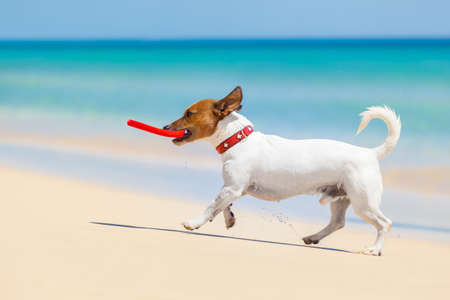 dog catching a red Flying disc and running at the beach photo