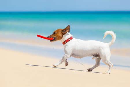 perro corriendo: perro la captura de un disco volador rojo y corriendo en la playa