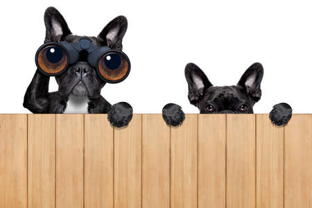 observations: father and son dogs spying behind wood fence Stock Photo