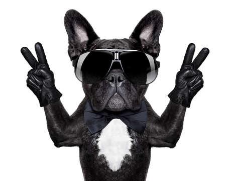 dogo: bulldog francés con la victoria o dedos de la paz y las gafas negras Foto de archivo