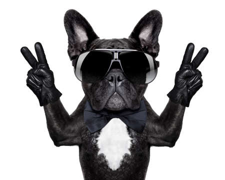french: french bulldog with victory or peace fingers and black glasses Stock Photo