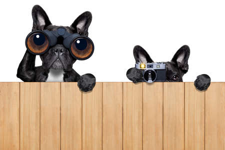 wood fence: father and son dogs spying behind wood fence with camera and binoculars