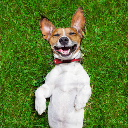 upside down: super funny face dog lying on back on green grass and laughing out loud
