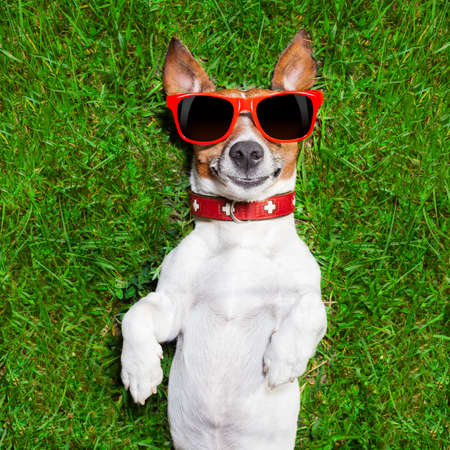 hilarious: super funny face dog lying on back on green grass looking crazy Stock Photo