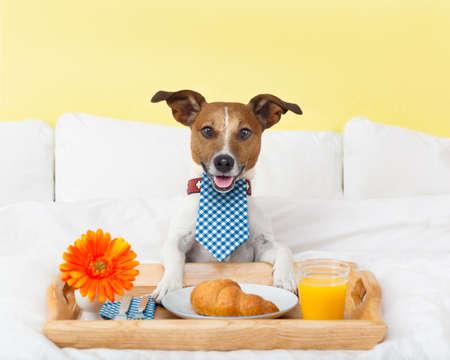 白いベッドで朝食を持っている犬