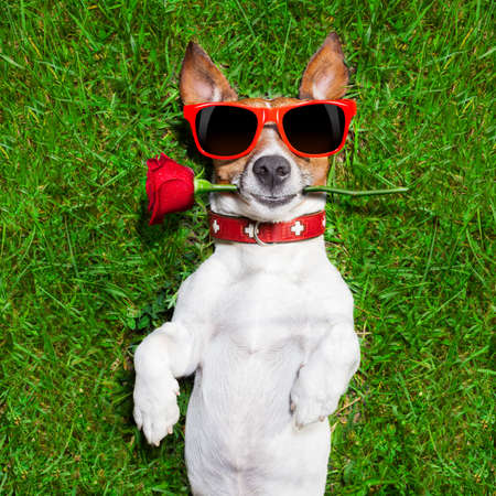 dog with a red rose in his mouth falling in love photo