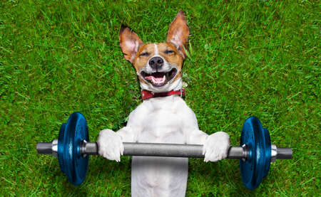 fitness club: super strong dog lifting  bing blue dumbbell bar Stock Photo