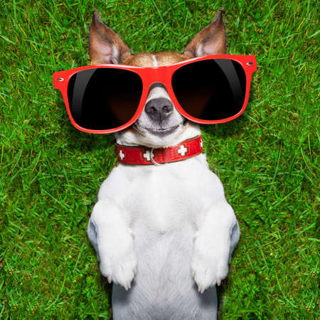 super funny face dog lying on back on green grass looking crazy Stock Photo