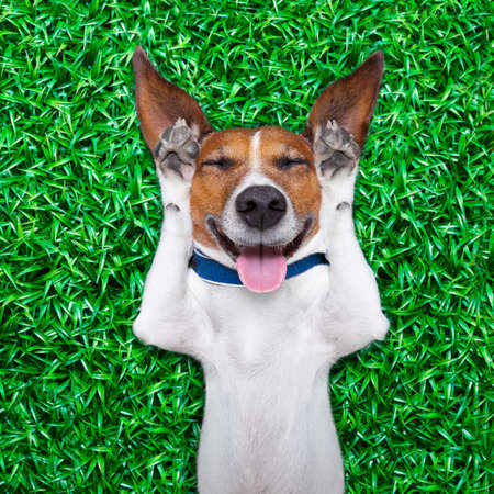 개는 혀를 튀어 나와 얼굴에 바보 미친 바보 같은 표정으로 잔디에 누워 큰 소리로 웃고 스톡 콘텐츠