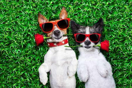 parejas felices: par de perros en el amor muy juntos tirado en la hierba en el parque con una rosa roja en cada boca