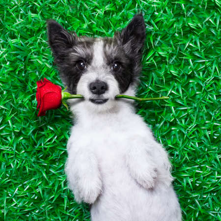 dog with rose in mouth, while lying on grass  in a park looking pretty cute photo