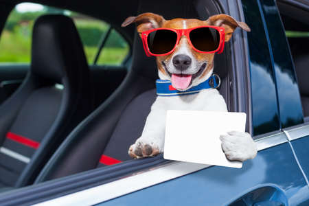 dog leaning out the car window showing a blank and empty drivers license