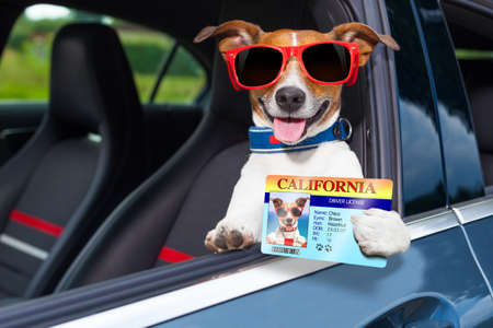 dog leaning out the car window showing the drivers license photo