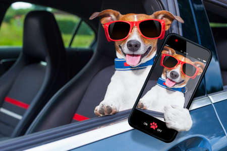 cars race: dog leaning out the car window making a selfie for the family Stock Photo