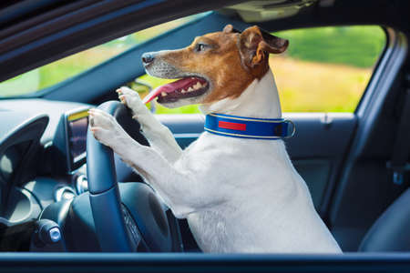 dog school: dog driving a steering wheel in a racing car