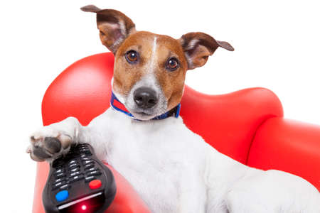 couch: dog watching tv or a movie sitting on a red sofa or couch  with remote control changing the channels