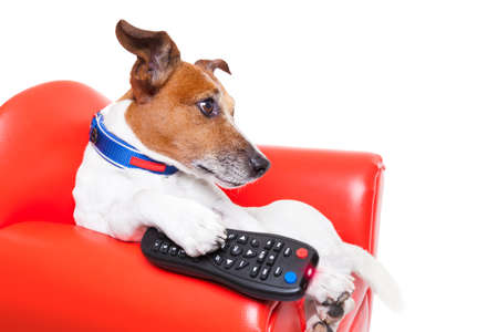 show dog: dog watching tv or a movie sitting on a red sofa or couch  with remote control changing the channels