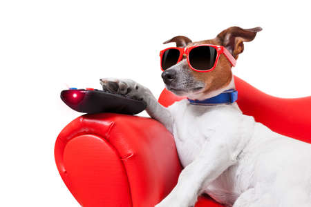 red sofa: dog watching tv or a movie sitting on a red sofa or couch  with remote control changing the channels