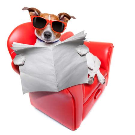 periódicos: perro leyendo el periódico en un sofá divertido rojo de lujo, descanso y relax