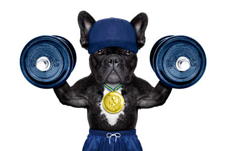 dog as  personal  trainer with gold medal lifting heavy dumbbells wearing sport shorts Archivio Fotografico