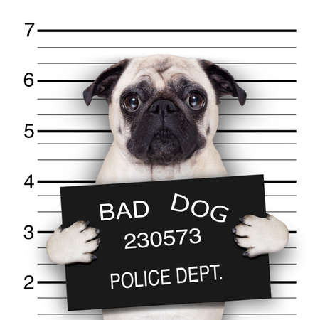 funny cute pug holding a placard while a mugshot is taken photo