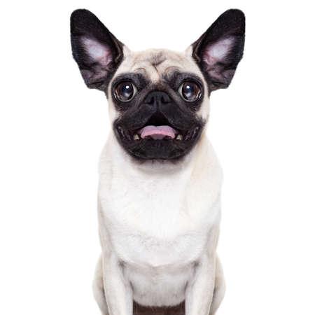 驚きし、ショックを受けての非常に大きな目と耳の非常に愚かなクレイジー パグ犬