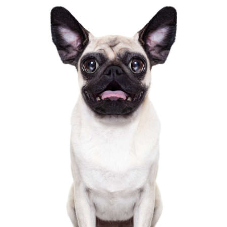 silly crazy  pug dog with very big eyes and ears very surprised and shocked