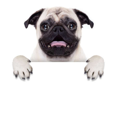pet  animal: pug dog behind blank white banner or placard with open mouth , surprised