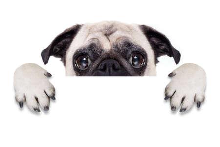 patas de perros: perro pug detr�s de la bandera blanca en blanco o cartel