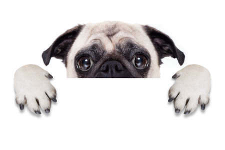 pug dog behind blank white banner or placard