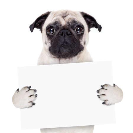 pug dog holding blank white banner or placard