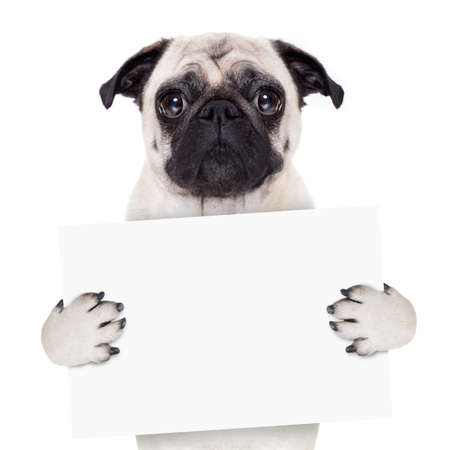 pug dog holding blank white banner or placard
