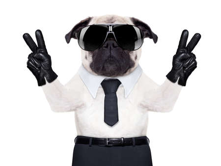 smiley pouce: carlin chien � la recherche afin de fantaisie avec la victoire ou la paix doigts, porter des lunettes de soleil noires fra�ches Banque d'images