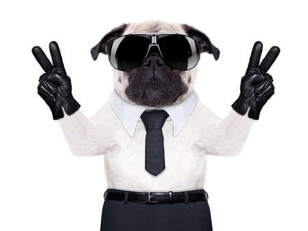 sunglasses: perro pug mirando tan de fantasía con la victoria o la paz dedos, con gafas de sol negras frescas Foto de archivo