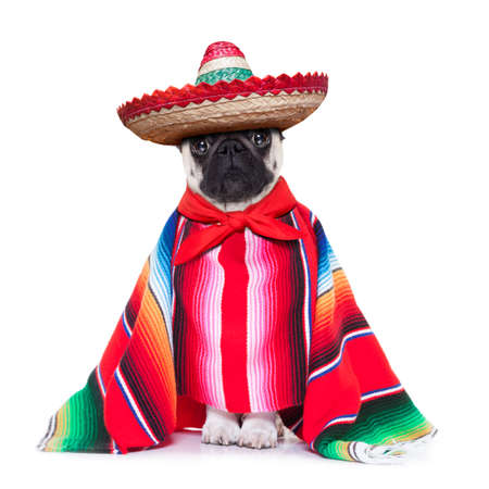 pug: mexican dog with sombrero and a big poncho