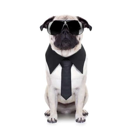 animals: perro pug mirando tan cool con gafas de sol de lujo y lazo