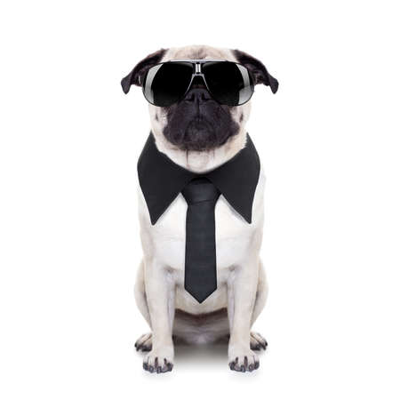 so: pug dog looking so cool with fancy sunglasses and tie