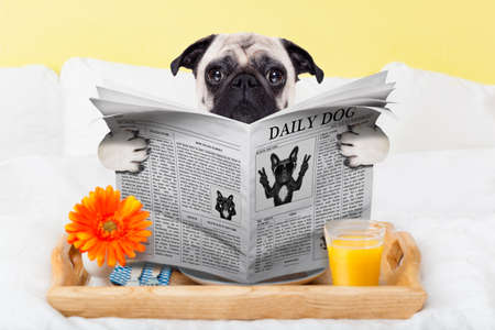 breakfast hotel: pug dog reading the newspaper and having breakfast in bed