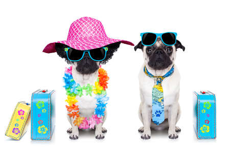 black pug: couple of pug dog ready to depart for summer vacation with sunglasses and luggage