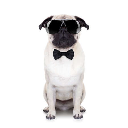 pug dog looking so cool with fancy sunglasses and a black small tie Foto de archivo
