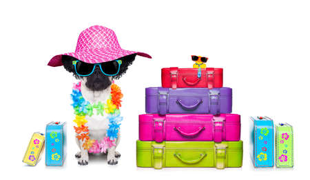 diva pug dog with stack of luggage for the summer vacation ready for holidays photo