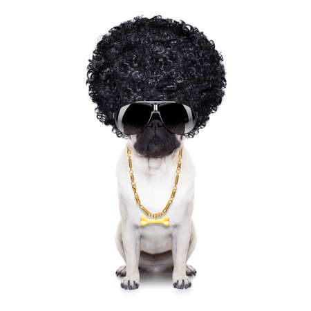 black pug: gangster cool afro dog wit gold chain and sunglasses