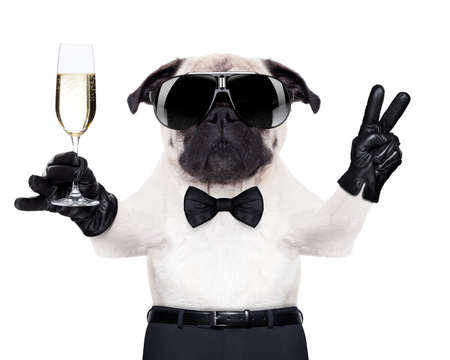 funny glasses: pug with a  champagne glass and victory or peace fingers toasting for new year , looking so cool Stock Photo
