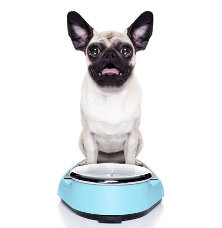 shocked and surprised pug dog about his weight on a scale photo