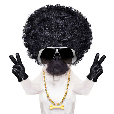 cool gangster pug dog with peace or victory fingers looking very cool with big afro look wig as hair