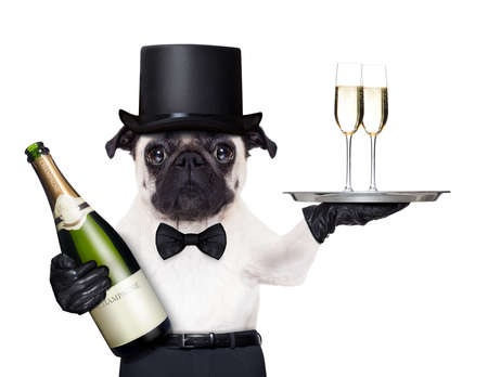 pug with   champagne glasses on a service tray  and a bottle on the other side 스톡 콘텐츠